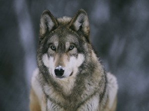 Postal: Nieve en el hocico del lobo