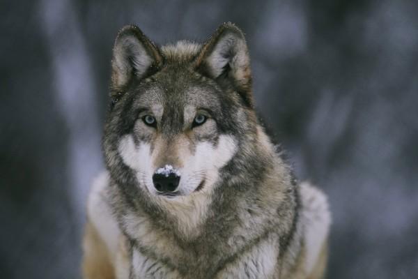 Nieve en el hocico del lobo