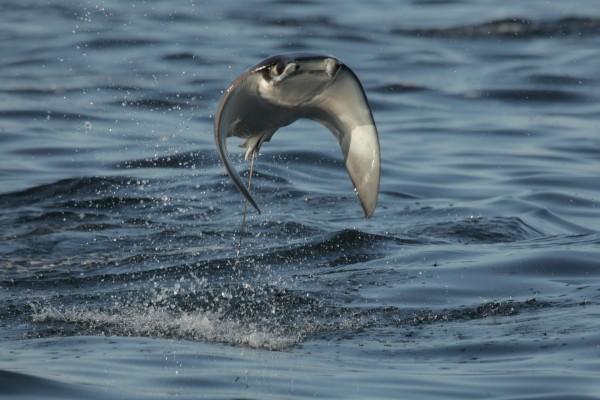 Pez raya saltando en la superficie del mar