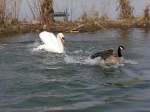 Cisne persiguiendo a un pato en el agua
