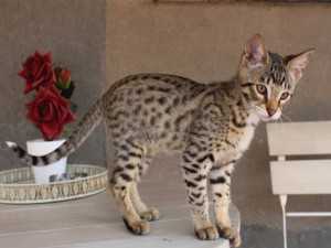 Postal: Un precioso gato sobre una mesa