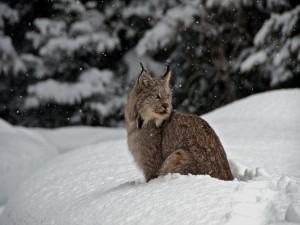 Un hermoso lince canadiense bajo la nieve
