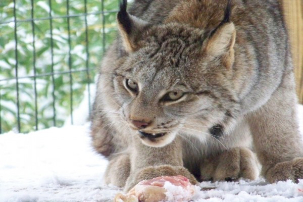 Lince canadiense alimentándose