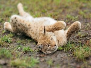 Un lince revolcándose en la hierba