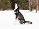 Nieva sobre un lobo