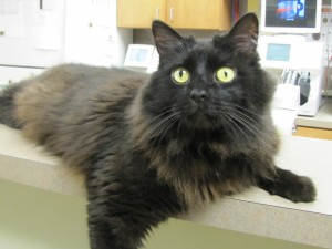 Postal: Gato con mucho pelo y ojos verdes