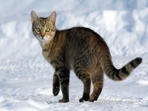 Postal: Un bonito gato sobre la nieve