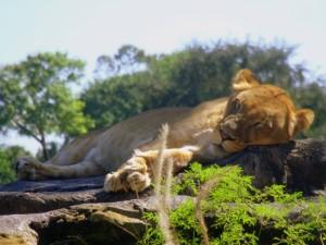 Una leona dormida sobre la rocas