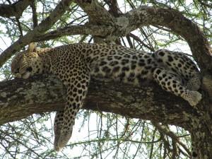 Leopardo dormido sobre la rama de un árbol