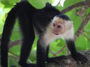 Mono de cabeza blanca sobre un árbol