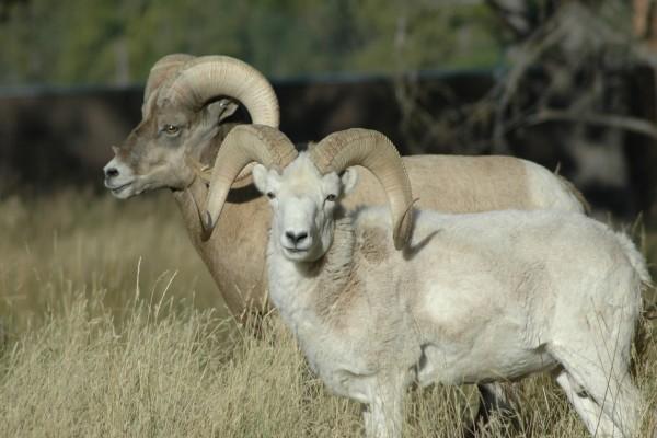 Cabras con grandes cuernos
