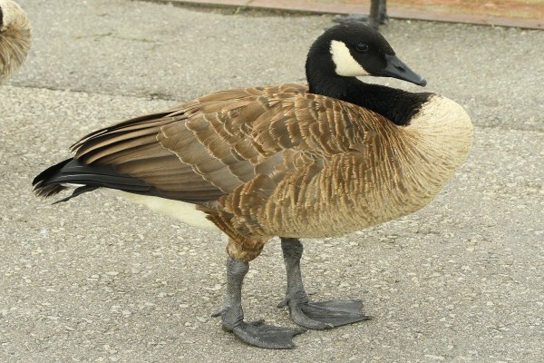 Un hermoso pato