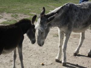 Pequeño burro junto a su madre
