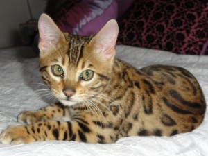 Un gato con piel de leopardo