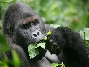 Un gorila comiendo hojas verdes