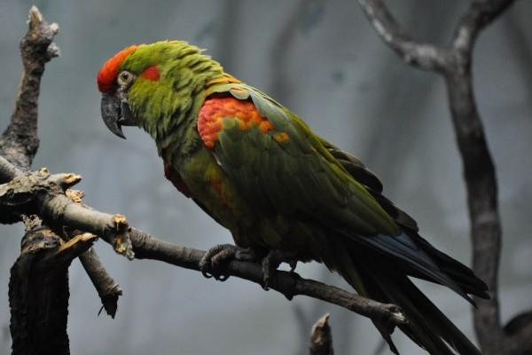 Guacamayo de frente roja (Ara rubrogenys)