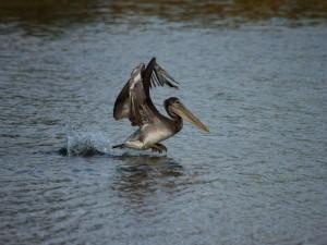 Un pelícano moviéndose por la superficie del agua