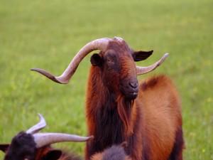 Postal: Cabra salvaje Mallorquina (Boc Balear)