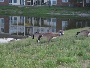 Gansos en la hierba junto al estanque