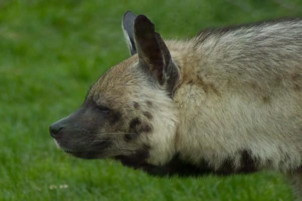 El perfil de una hiena