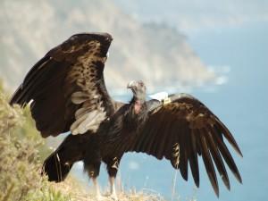 Postal: Un condor con las alas desplegadas