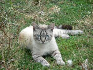 Un gato de ojos azules tumbado sobre la hierba