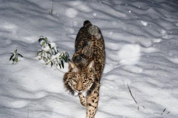 Lince caminando con sigilo sobre la nieve