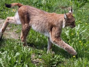 Un joven lince caminando sobre la hierba