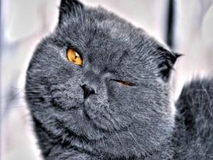 Precioso gato gris guiñando un ojo