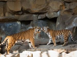 Postal: Dos cariñosos tigres sobre unas rocas