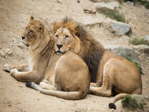 Una pareja de leones descansando