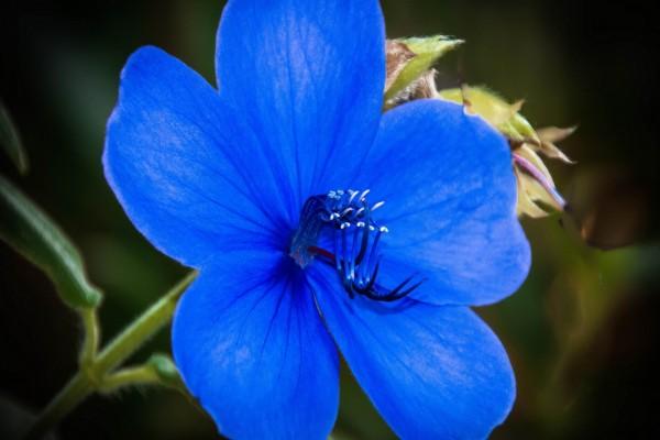Bella flor con pétalos azules