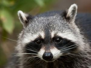 Postal: La cara de un interesante mapache