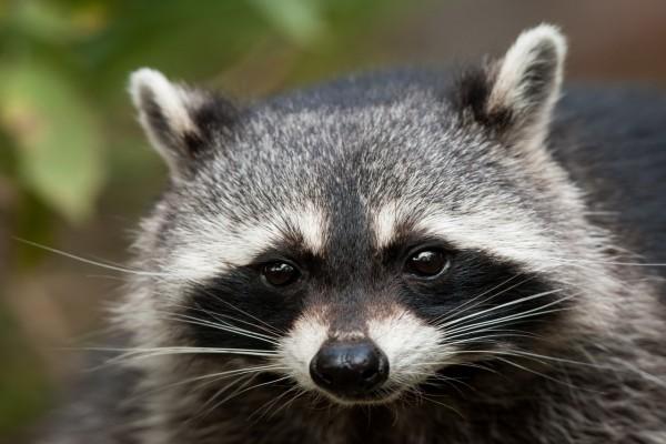 La cara de un interesante mapache
