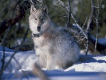 Un lobo cubierto de nieve