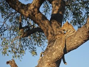 Postal: Un bello leopardo subido a un árbol