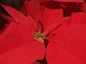 Postal: Flor de pascua (Euphorbia pulcherrima)