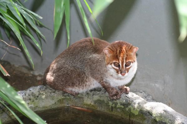 Gato de cabeza plana (Prionailurus planiceps)