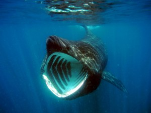 Postal: Tiburón peregrino (Cetorhinus maximus)