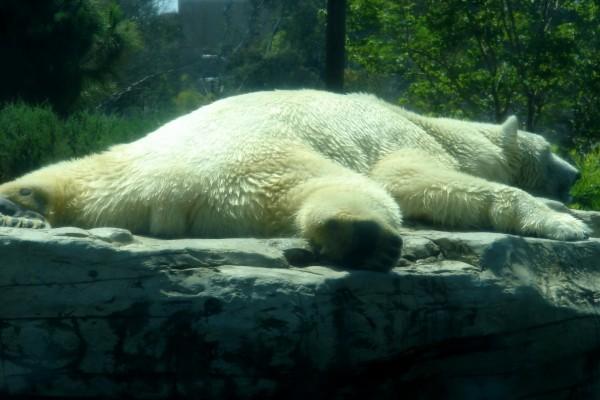 Oso polar acostado sobre una roca