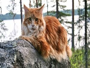 Gato con pelo marrón sobre una roca