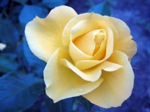 Delicada rosa con pétalos amarillos