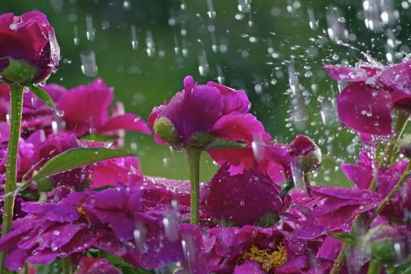 Flores color púrpura bajo la lluvia