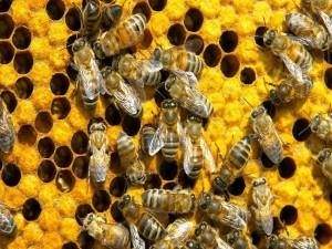 Postal: Un grupo de abejas en una colmena