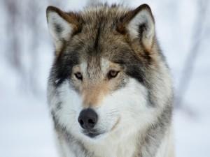 La cara de un precioso lobo
