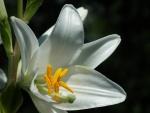 Un lilium blanco en el tallo