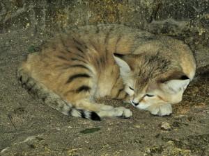 Postal: Gato de las arenas (Felis margarita)
