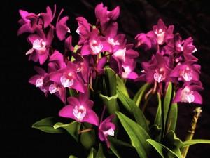 Postal: Orquídeas fucsias en un fondo negro