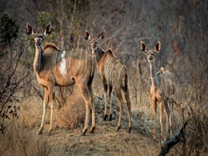 Hembra de kudú mayor junto a sus crías en África