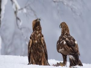 Postal: Águilas sobre la nieve